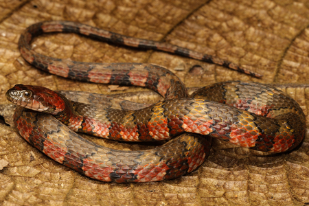 colubridae: The brown-banded water snake is a species of aquatic snake found in tropical South America and Trinidad and Tobago.