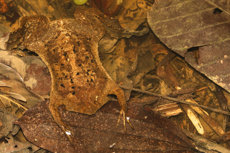 laevis: The common Suriname toad or star-fingered toad is a species of frog in the Pipidae family found in Bolivia, Brazil, Colombia, Ecuador.
