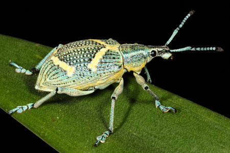 abietis: The Curculionidae comprise the family of the true weevils (or snout beetles). It is one the largest animal families, with 5,489 genera and 86,100 species described worldwide.