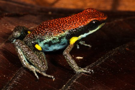 poison frog: The Ecuador poison frog is a species of frog in the Dendrobatidae family found in Colombia, Ecuador, and possibly Peru. Stock Photo