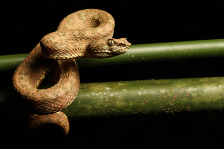 viper: The eyelash viper is a venomous pit viper species found in Central and South America.