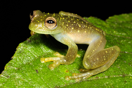 lurking: The glass frogs are frogs of the amphibian family Centrolenidae. While the general background coloration of most glass frogs is primarily lime green. Stock Photo