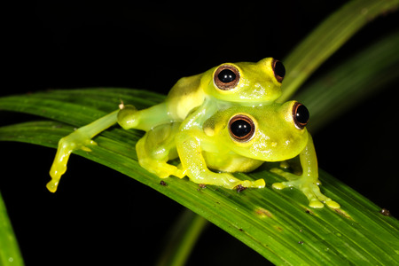 frog egg: The glass frogs are frogs of the amphibian family Centrolenidae.
