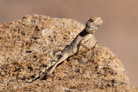 torrid: The ground agama is a species of lizard from the Agamidae family, found in most of sub-Saharan Africa. Stock Photo