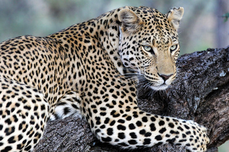 felidae: The leopard is one of the five big cats in the genus Panthera. It is a member of the family Felidae with a wide range in sub-Saharan Africa and parts of Asia. Stock Photo