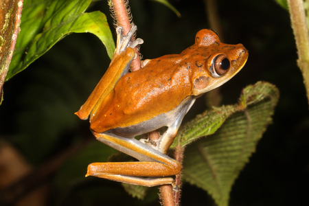 quacking: The map tree frog, Hypsiboas geographicus, is a species of frog in the Hylidae family.