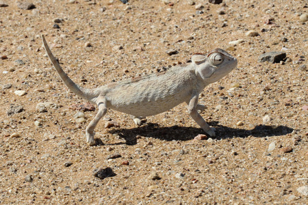 africa chameleon: The Namaqua chameleon is a ground-living lizard found in the western desert regions of Namibia, South Africa and southern Angola.