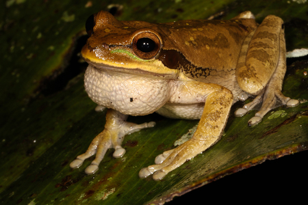 anura: The New Granada cross-banded tree frog is a species of frog in the Hylidae family found in Colombia, Costa Rica, Ecuador, Honduras, Nicaragua, and Panama.