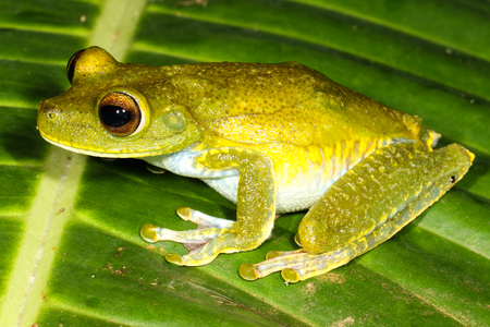 red eyed leaf frog: The palmar tree frog, Hypsiboas pellucens, is a species of frog in the Hylidae family found in Colombia and Ecuador.