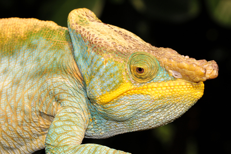 and diurnal: The Parsons chameleon is a large species of chameleon that is endemic to isolated pockets of humid primary forest in eastern and northern Madagascar. Stock Photo