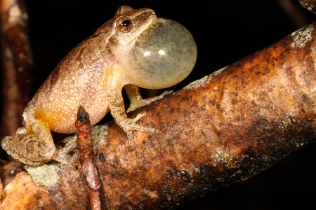 widespread: The spring peeper is a small chorus frog widespread throughout the eastern United States and Canada.