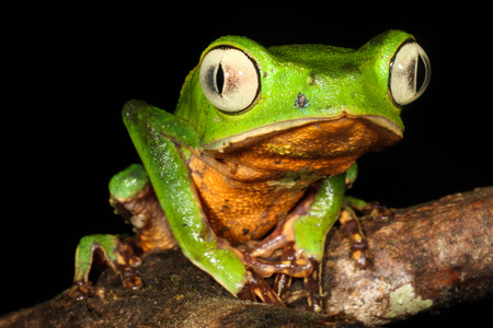 red eyed leaf frog: The white-lined leaf frog, is a species of frog in the Hylidae family.