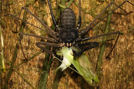 comprising: Thelyphonida is an arachnid order comprising invertebrates commonly known as whip scorpions or vinegaroons. Stock Photo