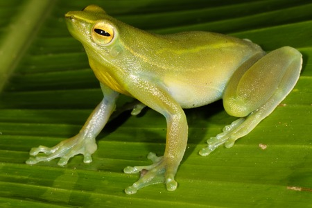 anura: The Orinoco lime tree frog, Sphaenorhynchus lacteus, is a species of frog in the Hylidae family found in Brazil, Colombia, Ecuador, French Guiana, Guyana, Peru, Suriname, Trinidad and Tobago. Stock Photo