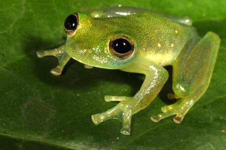 midas: Teratohyla midas is a species of frog in the Centrolenidae family. It is found in the Amazon Basin of western Brazil, Ecuador, Peru, and Colombia.
