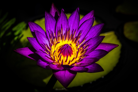 lilly: Purple water lilly