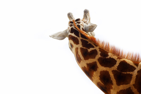 youngly: Neck giraffe isolated on a white background. Rear view Stock Photo