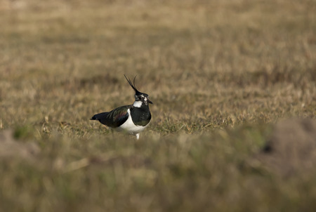 topknot: northern lapwing in a field of grass