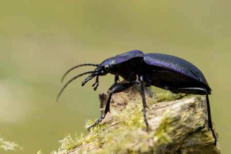 carabus: Carabus problematicus is a species of beetle endemic to Europe, where it is observed in Andorra, Austria, Belgium, Great Britain, the Czech Republic, mainland Denmark, the Faroe Islands.