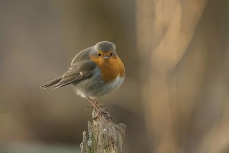 european: European Robin