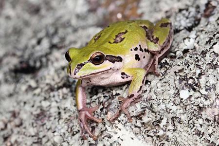 croaking: White-lipped tree frog (Litoria infrafrenata) close-up Stock Photo