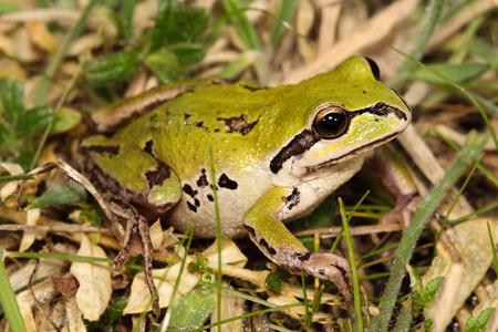 croaking: Australian green tree frog (Litoria verreauxii)