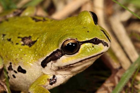 green tree frog: Alpie green tree frog