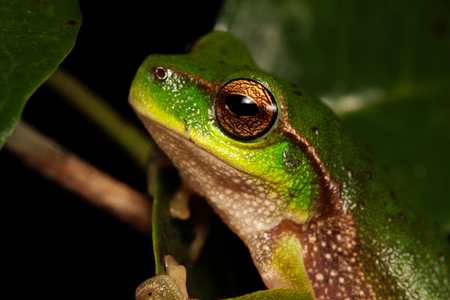 arboreal frog: frog is in a natural habitat Stock Photo