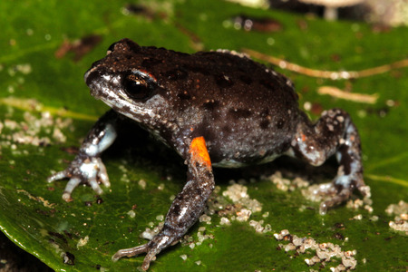 arboreal frog: The Bibrons toadlet or brown toadlet (Pseudophryne bibronii) is a species of Australian ground-dwelling frog.