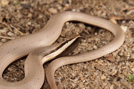 lacks: Burtons legless lizard is a species of pygopodid lizard which means that it lacks forelegs and has only rudimentary hind legs. Pygopodid lizards are also referred to as legless lizards. Stock Photo