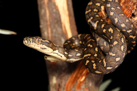 pythons: Morelia spilota, commonly referred to as carpet python and diamond pythons, is a large snake of the family Pythonidae found in Australia, New Guinea, and the northern Solomon Islands.