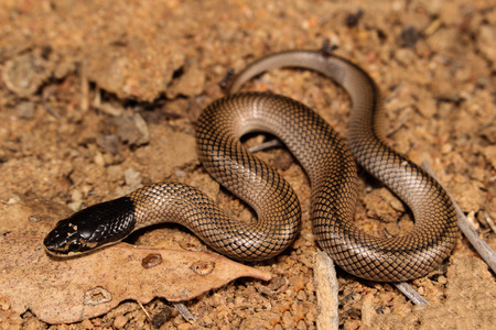 venomous: Suta suta is a venomous heavily built snake native to Australia, commonly referred to as the curl snake and also known more commonly in Western Australia as the myall snake.