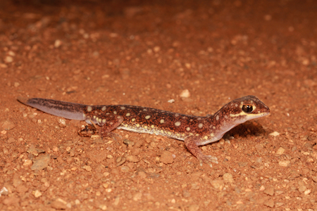 bugaboo: Rhynchoedura ornata, or the Beaked Gecko, is a species of Gekkonidae (gecko) found throughout the interior of Australia. It is the only member of the genus Rhynchoedura.