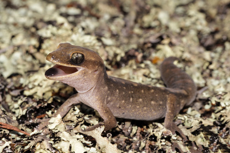 vittatus: Diplodactylus vittatus, known as the wood gecko or eastern stone gecko is a small gecko found in New South Wales and Queensland. It usually eats insects around dusk.