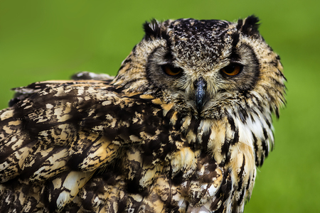 resides: The Eurasian eagle-owl is a species of eagle-owl that resides in much of Eurasia. It is sometimes called the European eagle-owl.