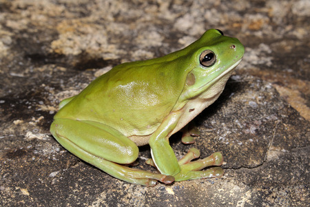 The Australian green tree frog, simply green tree frog in Australia, White's tree frog, or dumpy tree frog is a species of tree frog native to Australia and New Guine. Imagens