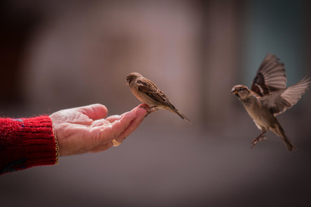 trusting: Sparrows sitting on a female hand which is feeding the birds