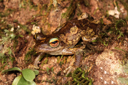 poison dart frogs: Litoria myola is a species of frog in the Hylidae family. It is endemic to Australia.