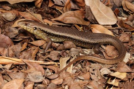 omnivore animal: Bellatorias frerei is a species of saurians of the family of Cophoscincopus.