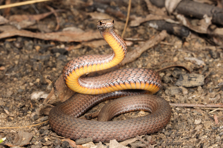 Drysdalia is a genus of snakes, commonly known as crowned snakes, belonging to the family Elapidae. The three species in this genus are venomous, but not considered deadly. Stock Photo
