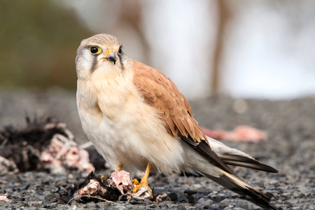 rely: The Australian kestrel or nankeen kestrel is one of the smallest falcons, and unlike many, does not rely on speed to catch its prey.