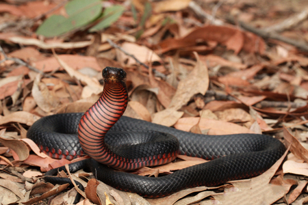 bellied: The red-bellied black snake is a species of elapid snake native to eastern Australia. Though its venom is capable of causing significant morbidity, a bite from it is not generally fatal.