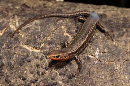 belongs: Carlia is a genus of skinks, commonly known as four-fingered skinks, in the subfamily Lygosominae. Carlia belongs to a clade with the genera Niveoscincus, Lampropholis. Stock Photo