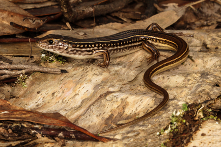 habitats: The Eastern striped skink is a species of skink found in a wide variety of habitats in Australia. A robust lizard with complex markings and patterns. The snout to vent length is around 123 mm.