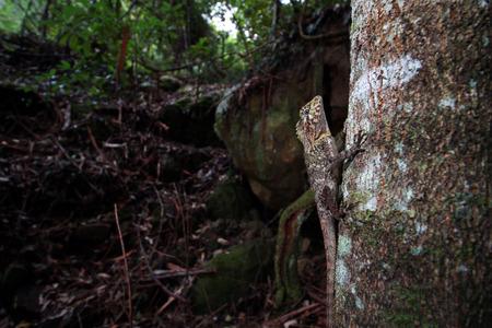 lizard in field: El dragón con cabeza de ángulo sur o el dragón bosques del sur es una especie de lagarto agamid endémica de Australia.