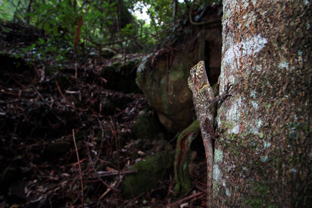 lizard in field: The southern angle-headed dragon or southern forest dragon is a species of agamid lizard endemic to Australia. Foto de archivo
