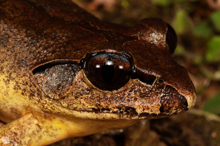 inhabits: The Stuttering frog is a large species of frog that inhabits temperate and sub-tropical rainforest and wet sclerophyll forest in Australia.