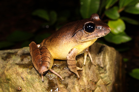The Stuttering frog is a large species of frog that inhabits temperate and sub-tropical rainforest and wet sclerophyll forest in Australia.
