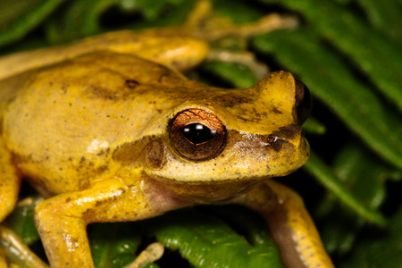 arboreal frog: The revealed tree frog or whirring tree frog, is a species of tree frog native to coastal eastern Australia.