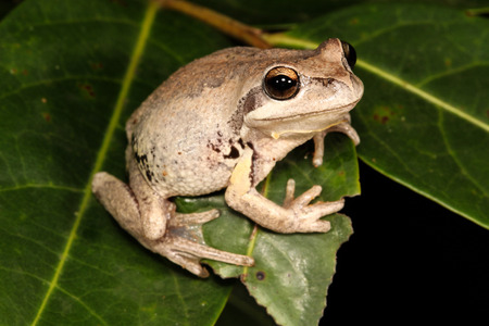treefrog: The whistling tree frog or Verreauxs tree frog is a frog occurring in Australia. It has been divided into two subspecies, the nominate Verreauxs tree frog and the Verreauxs alpine tree frog. Stock Photo